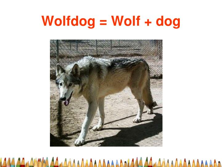 Wolfdog = Wolf + dog