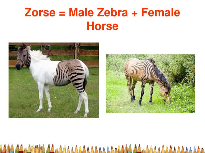 Zorse = Male Zebra + Female Horse