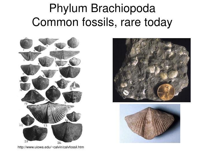 Phylum Brachiopoda