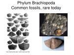 phylum brachiopoda common fossils rare today