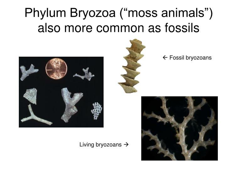 "Phylum Bryozoa (""moss animals"")"