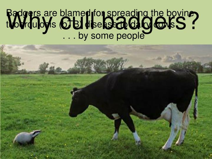 Why cull badgers?