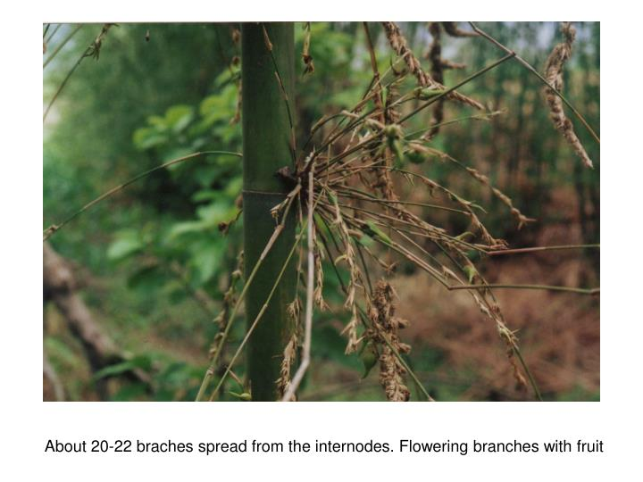 About 20-22 braches spread from the internodes. Flowering branches with fruit
