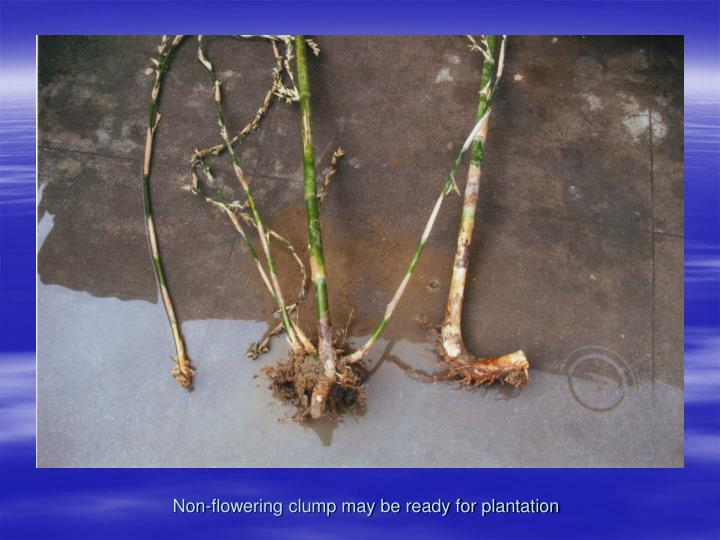 Non-flowering clump may be ready for plantation