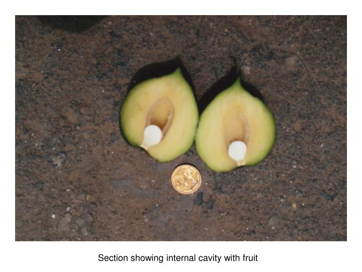 Section showing internal cavity with fruit