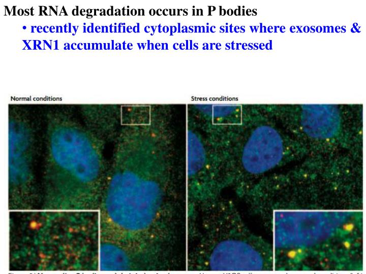Most RNA degradation occurs in P bodies