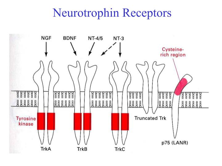 Neurotrophin Receptors