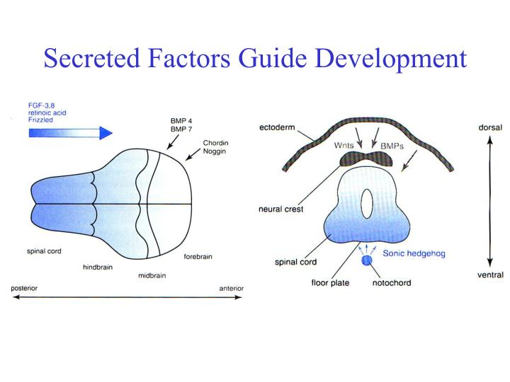Secreted Factors Guide Development