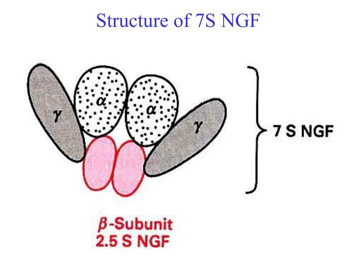 Structure of 7S NGF