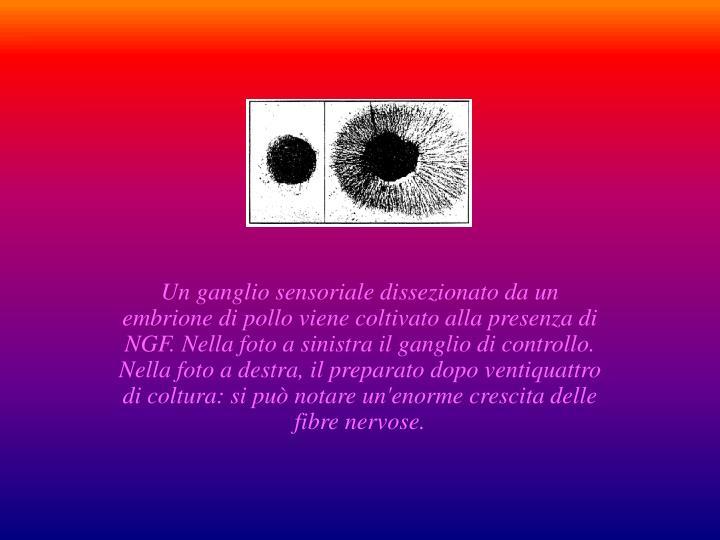 Un ganglio sensoriale dissezionato da un embrione di pollo viene coltivato alla presenza di NGF. Nella foto a sinistra il ganglio di controllo. Nella foto a destra, il preparato dopo ventiquattro di coltura: si può notare un'enorme crescita delle fibre nervose.