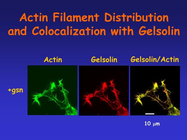 Actin Filament Distribution