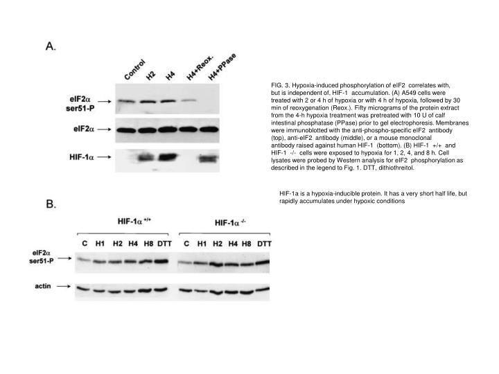 FIG. 3. Hypoxia-induced phosphorylation of eIF2  correlates with,