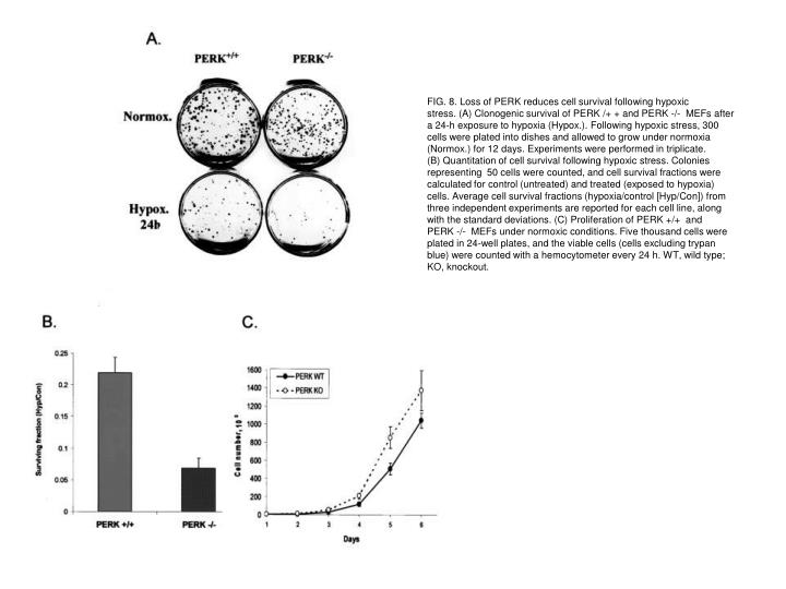 FIG. 8. Loss of PERK reduces cell survival following hypoxic
