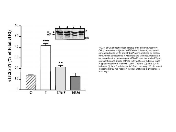 FIG. 3. eIF2a phosphorylation status after ischemia/recovery.