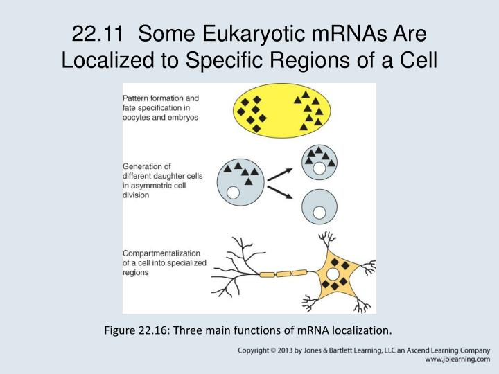 22.11  Some Eukaryotic mRNAs Are Localized to Specific Regions of a Cell