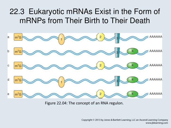 22.3  Eukaryotic mRNAs Exist in the Form of mRNPs from Their Birth to Their Death
