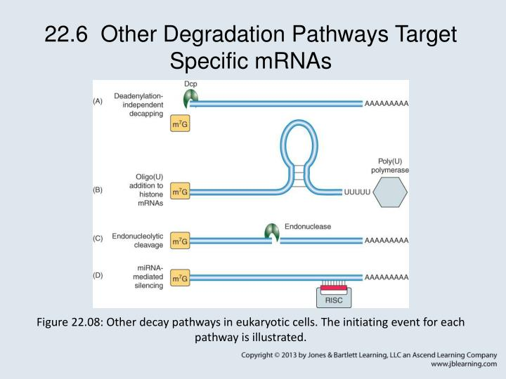 22.6  Other Degradation Pathways Target Specific mRNAs