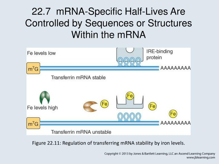 22.7  mRNA-Specific Half-Lives Are Controlled by Sequences or Structures Within the mRNA