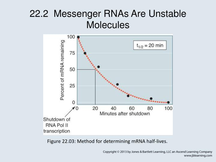 22.2  Messenger RNAs Are Unstable Molecules