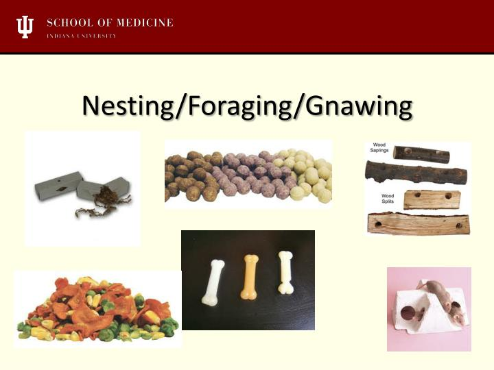 Nesting/Foraging/Gnawing