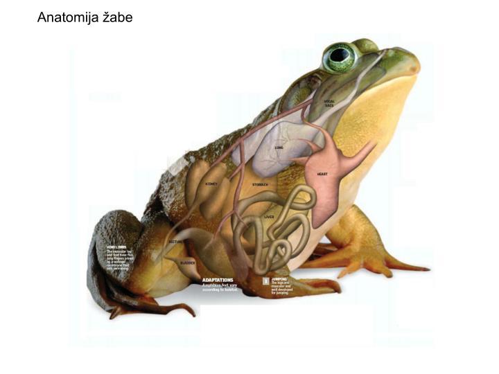 Anatomija žabe