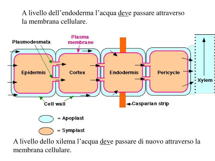A livello dell'endoderma l'acqua