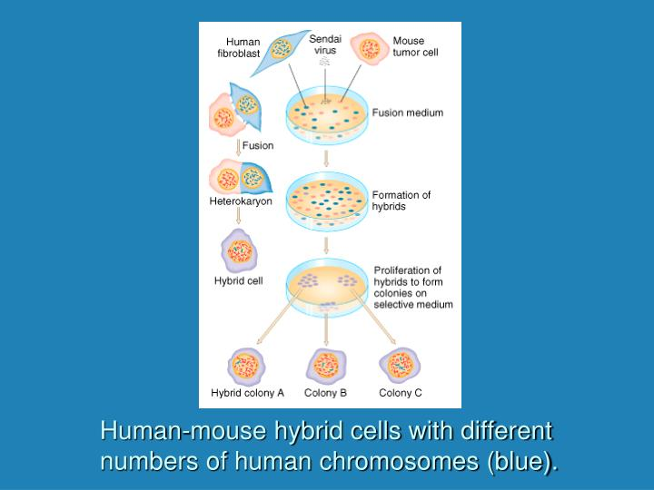 Human-mouse hybrid cells with different