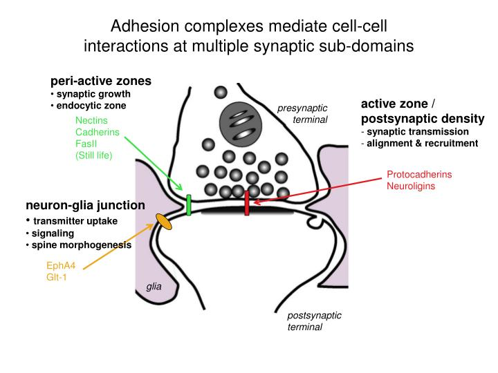 Adhesion complexes mediate cell cell interactions at multiple synaptic sub domains