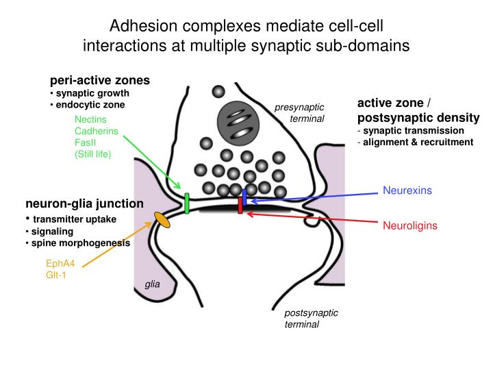 Adhesion complexes mediate cell-cell interactions at multiple synaptic sub-domains