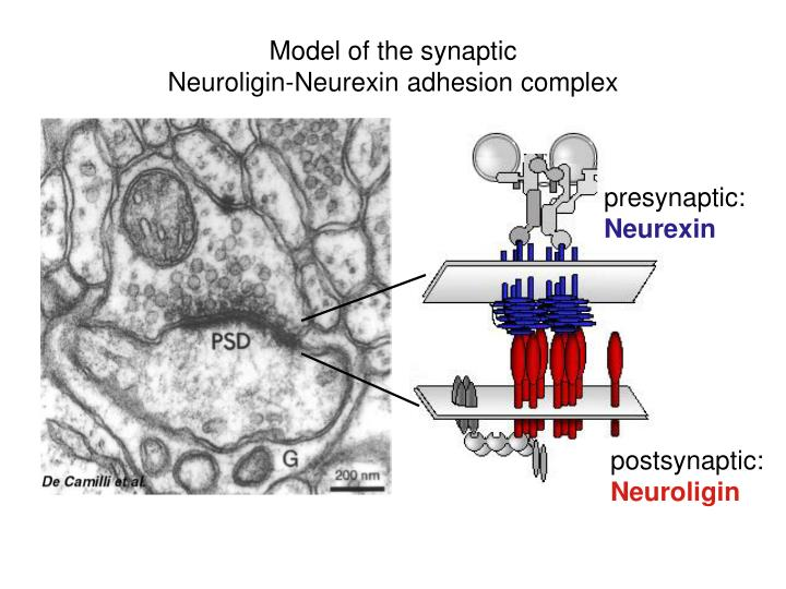 Model of the synaptic