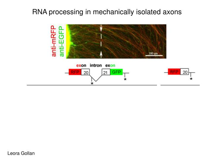 RNA processing in mechanically isolated axons