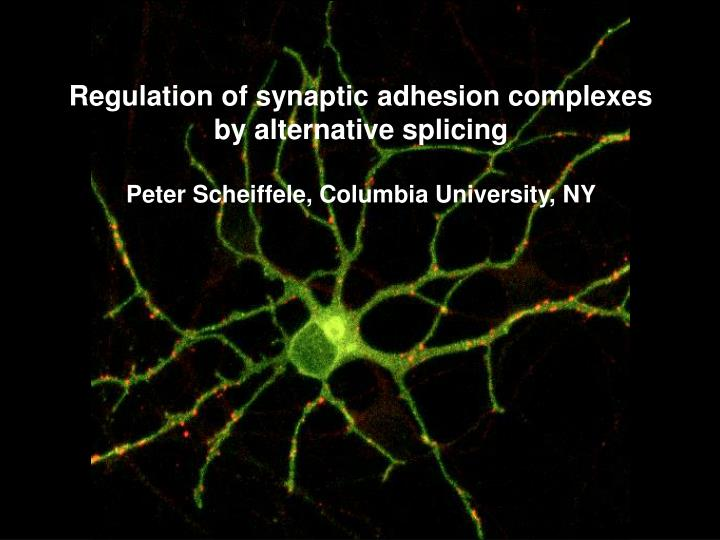 Regulation of synaptic adhesion complexes