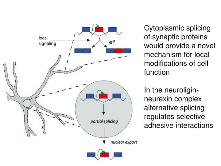 Cytoplasmic splicing of synaptic proteins would provide a novel mechanism for local modifications of cell function