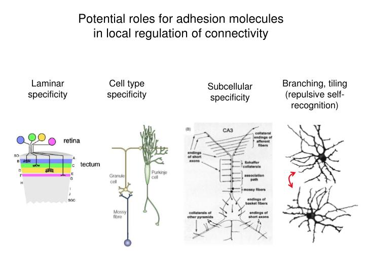 Potential roles for adhesion molecules