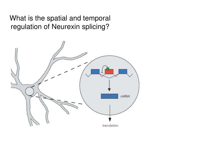 What is the spatial and temporal regulation of Neurexin splicing?