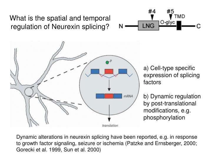 Dynamic alterations in neurexin splicing have been reported, e.g. in response to growth factor signaling, seizure or ischemia (Patzke and Ernsberger, 2000; Gorecki et al. 1999, Sun et al. 2000)