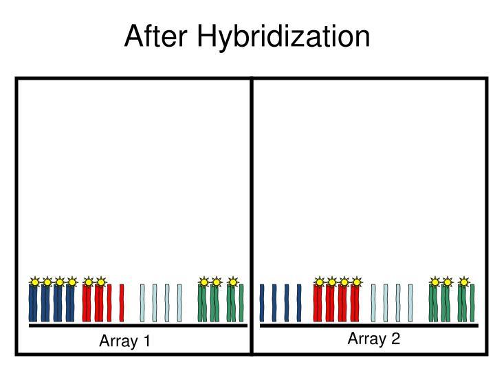 After Hybridization