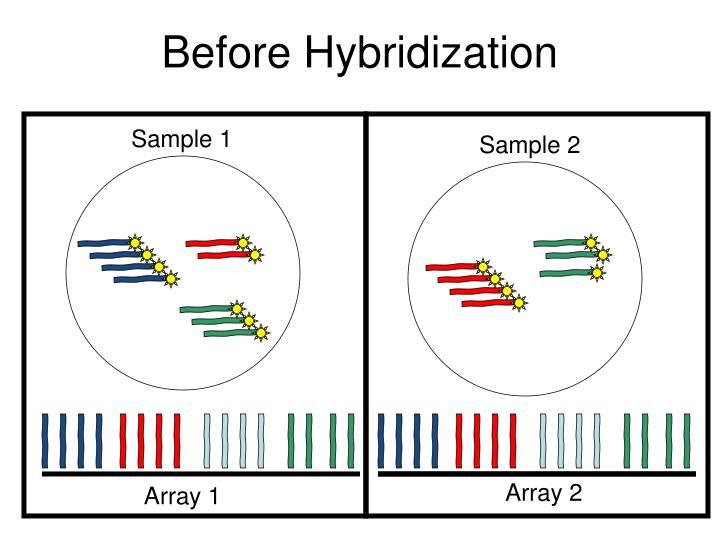 Before Hybridization