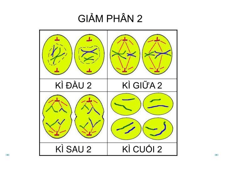 GIẢM PHÂN 2