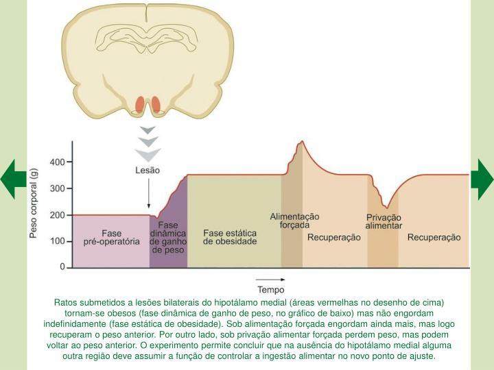 Ratos submetidos a lesões bilaterais do hipotálamo medial (áreas vermelhas no desenho de cima) tornam-se obesos (fase dinâmica de ganho de peso, no gráfico de baixo) mas não engordam indefinidamente (fase estática de obesidade). Sob alimentação forçada engordam ainda mais, mas logo