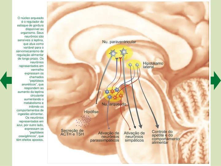 """O núcleo arqueado é o regulador do estoque de gordura disponível ao organismo. Seus neurônios são sensíveis à leptina, que atua como variável para o servomecanismo de regulação alimentar de longo prazo. Os neurônios representados em vermelho expressam os chamados """"peptídeos anoréticos"""", que respondem ao aumento da leptina circulante aumentando o metabolismo e inibindo os comportamentos de ingestão alimentar. Os neurônios representados em azul, por outro lado, expressam os """"peptídeos orexigênicos"""", que têm efeitos opostos."""