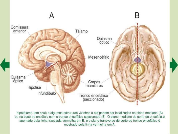 hipotálamo (em azul) e algumas estruturas vizinhas a ele podem ser localizados no plano mediano (A) ou na base do encéfalo com o tronco encefálico seccionado (B). O plano mediano de corte do encéfalo é apontado pela linha tracejada vermelha em B, e o plano transverso de corte do tronco encefálico é mostrado pela linha vermelha em A.