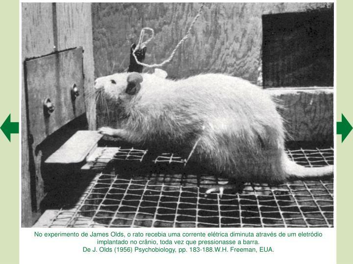 No experimento de James Olds, o rato recebia uma corrente elétrica diminuta através de um eletródio implantado no crânio, toda vez que pressionasse a barra.