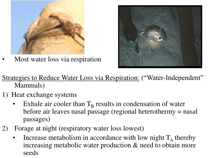 Most water loss via respiration