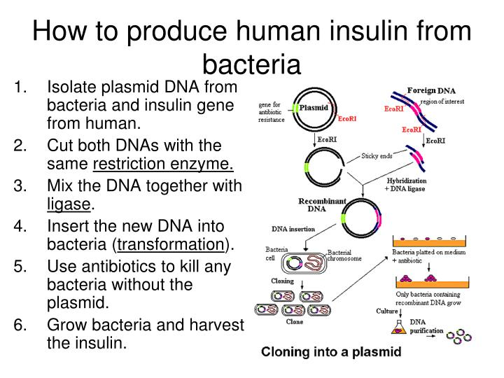How to produce human insulin from bacteria