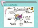 mandens hjerne