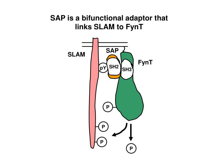 SAP is a bifunctional adaptor that