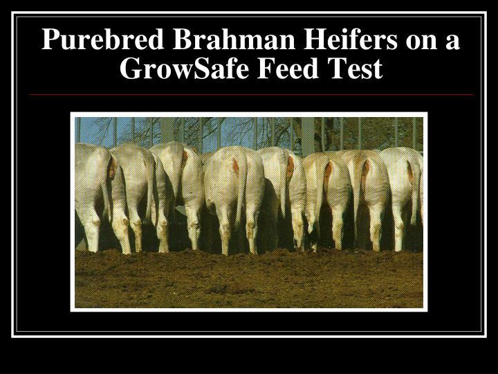 Purebred Brahman Heifers on a GrowSafe Feed Test
