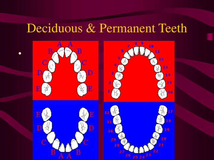 Deciduous & Permanent Teeth