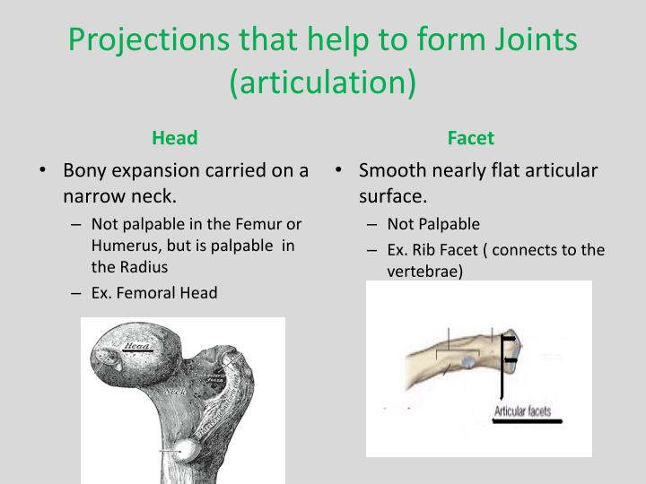 Projections that help to form Joints (articulation)